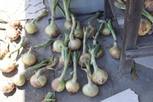 玉ねぎ収穫2DSC_0337