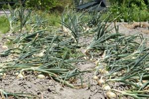 玉ねぎ収穫DSC_0359
