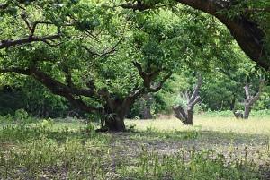 甲州小梅の木