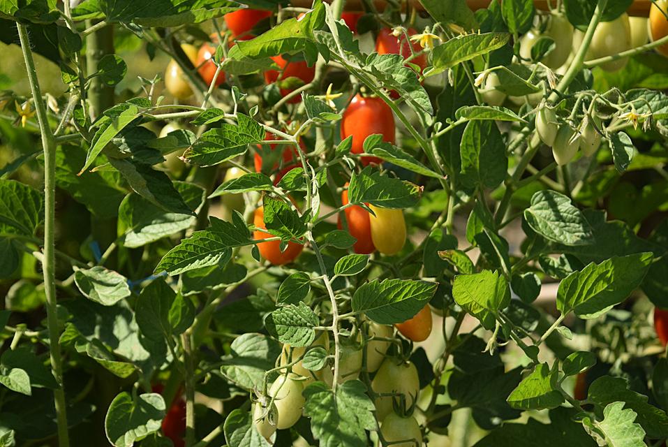 菜園のトマト