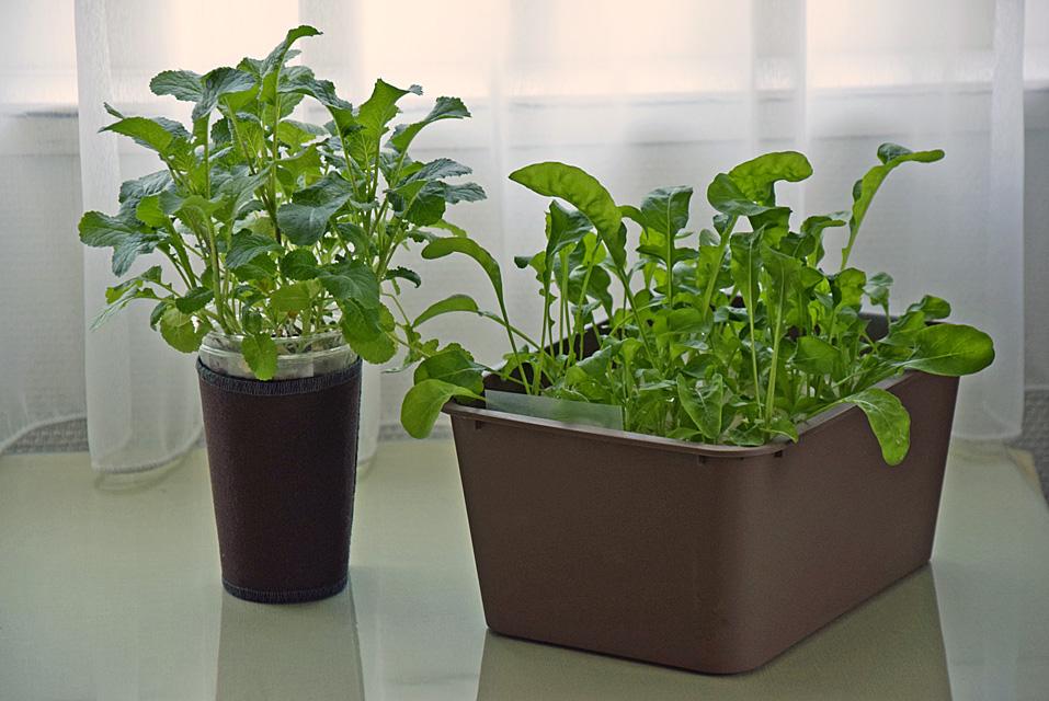 水耕栽培 からし菜とルッコラ
